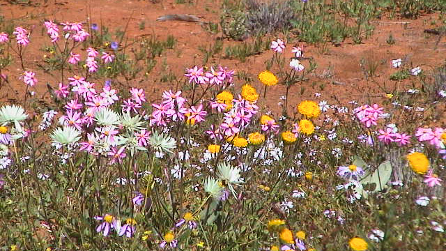 Wildblumen-Paradies Westaustralien